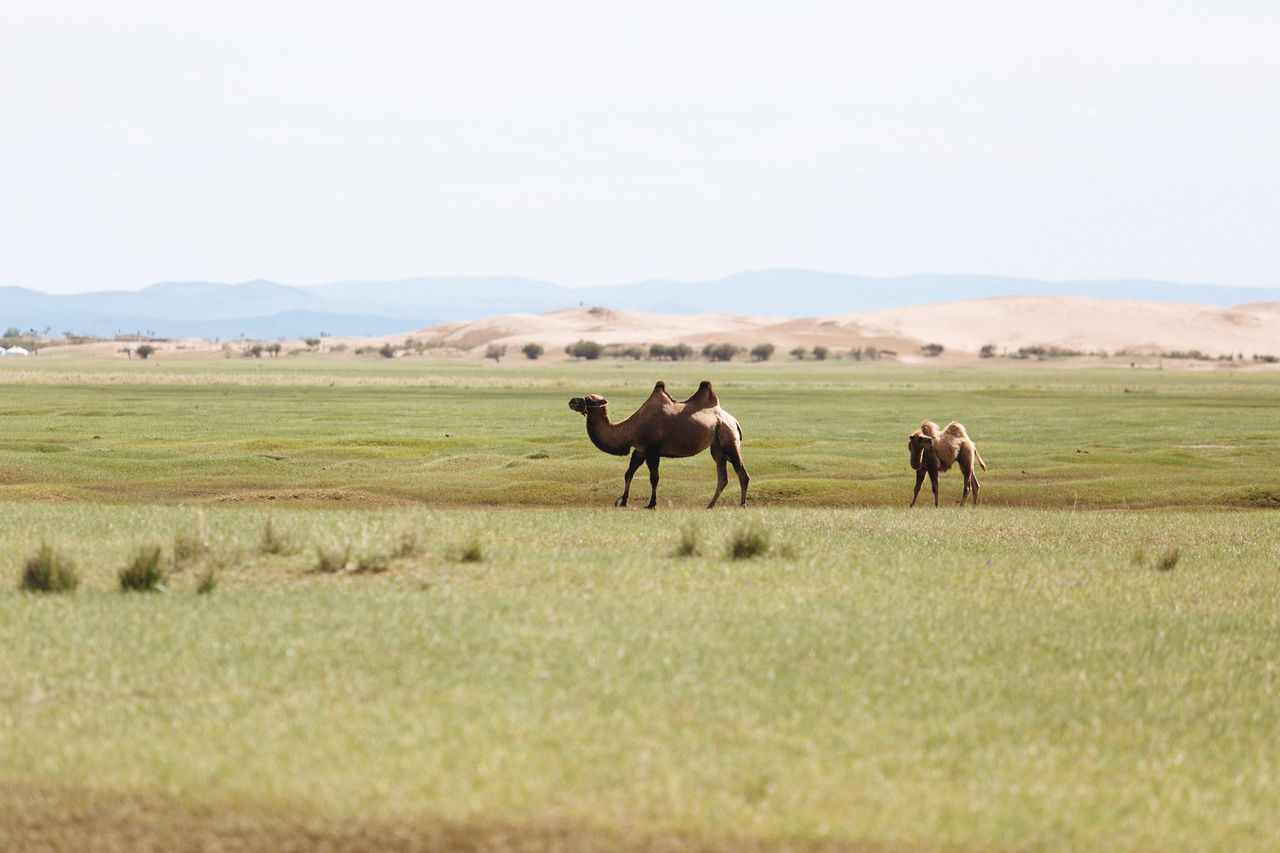 Camels On Field Against Clear Sky