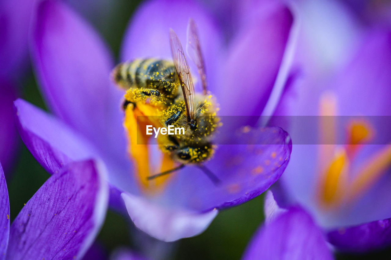 flower, flowering plant, petal, beauty in nature, plant, animals in the wild, animal themes, freshness, animal, animal wildlife, one animal, fragility, insect, vulnerability, invertebrate, flower head, close-up, growth, inflorescence, pollen, pollination, purple, no people, crocus