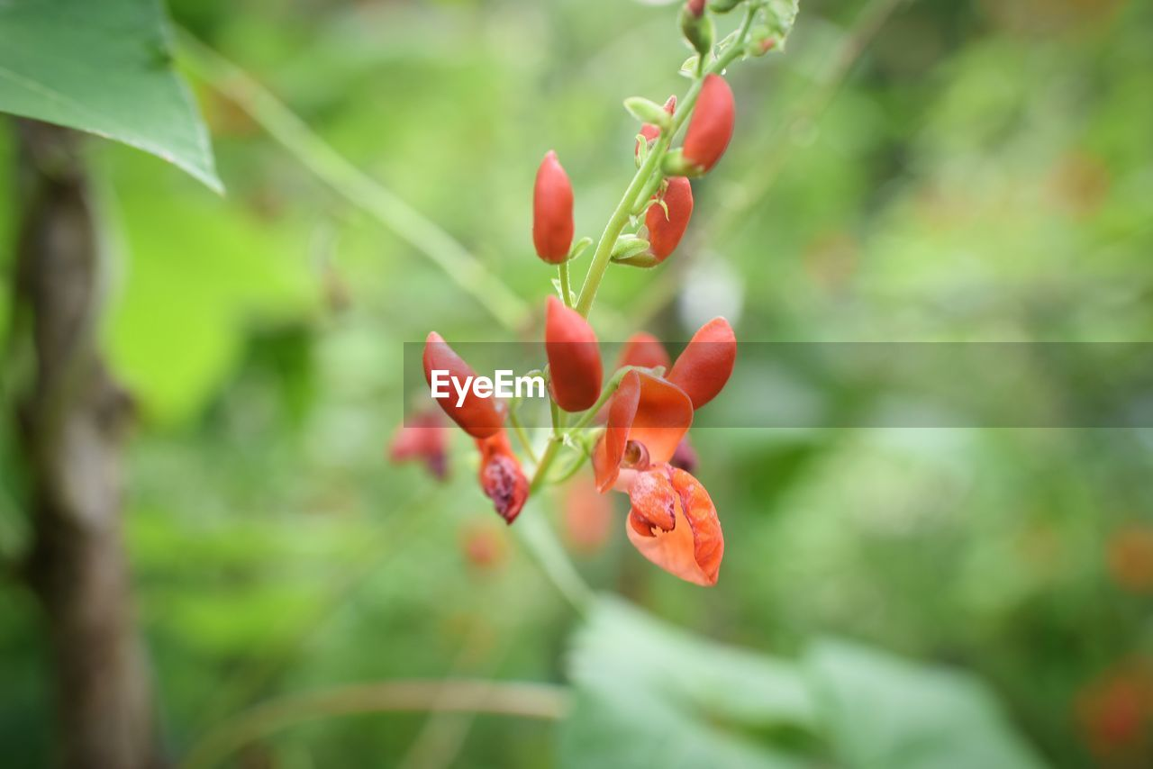 growth, plant, red, beauty in nature, close-up, freshness, nature, no people, food, fruit, focus on foreground, food and drink, day, green color, selective focus, healthy eating, tree, flower, plant part, leaf, outdoors