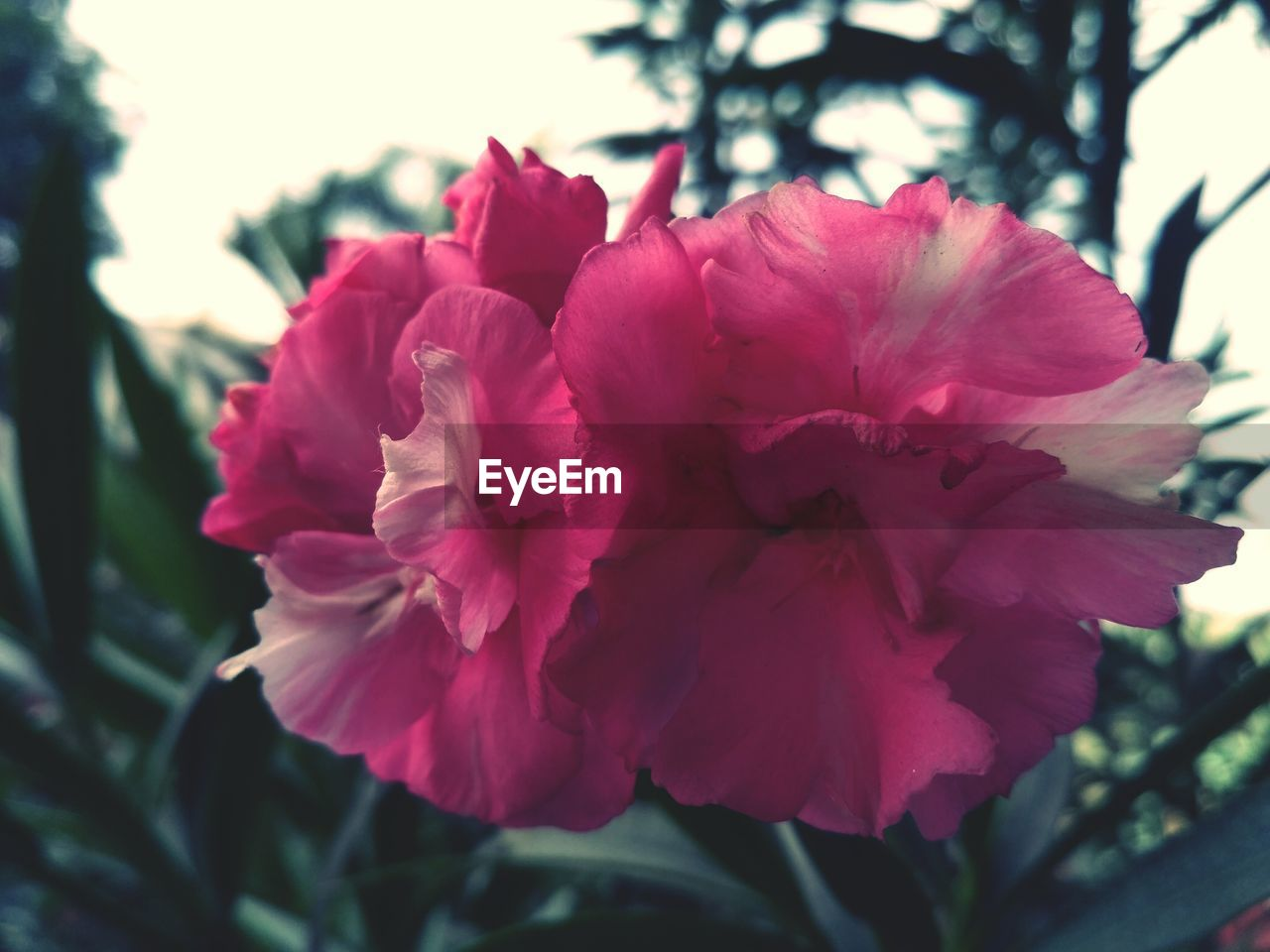 flowering plant, plant, flower, beauty in nature, vulnerability, fragility, petal, freshness, growth, close-up, inflorescence, flower head, pink color, focus on foreground, nature, day, no people, outdoors, red, blossom
