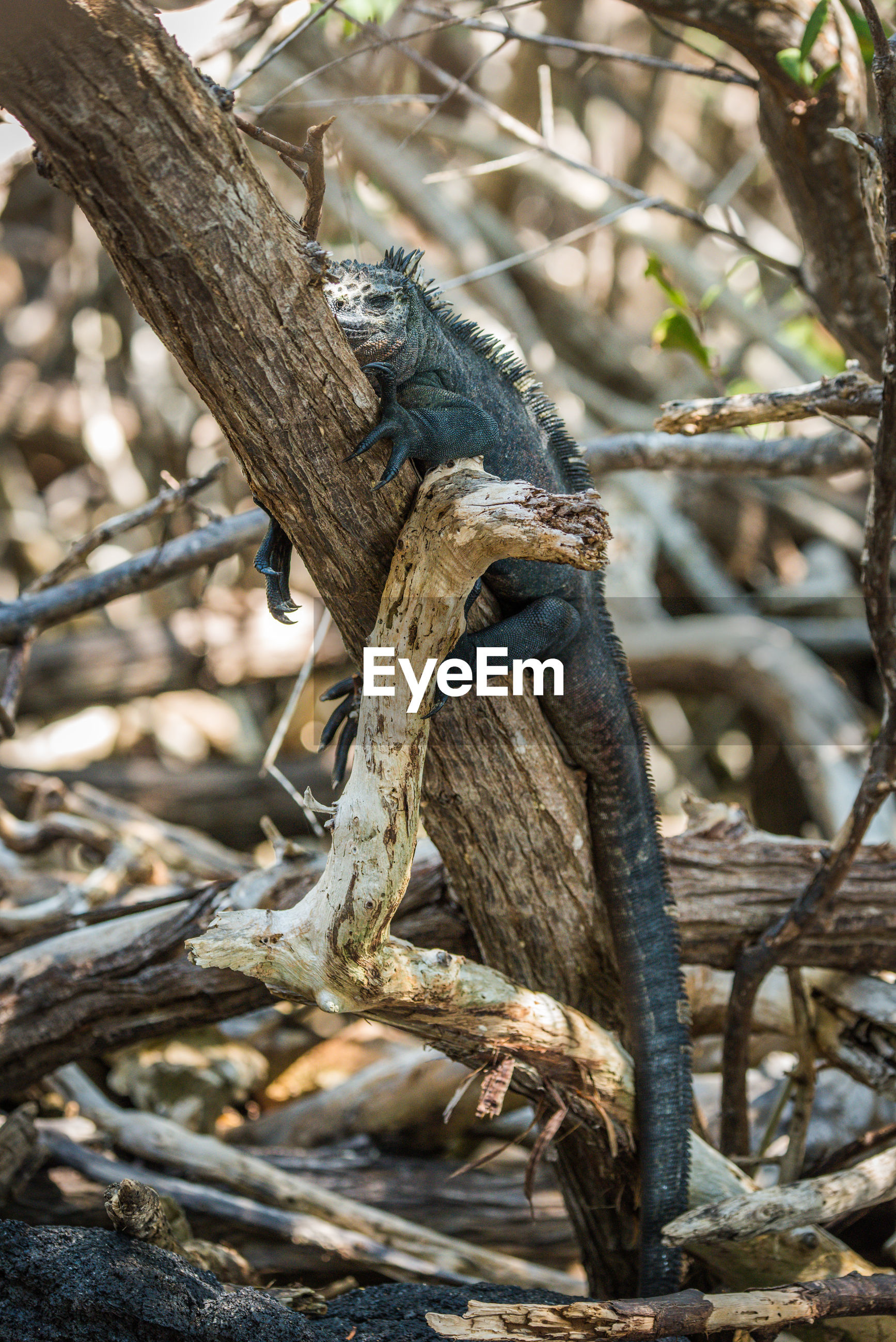 Marine iguana on dried plant