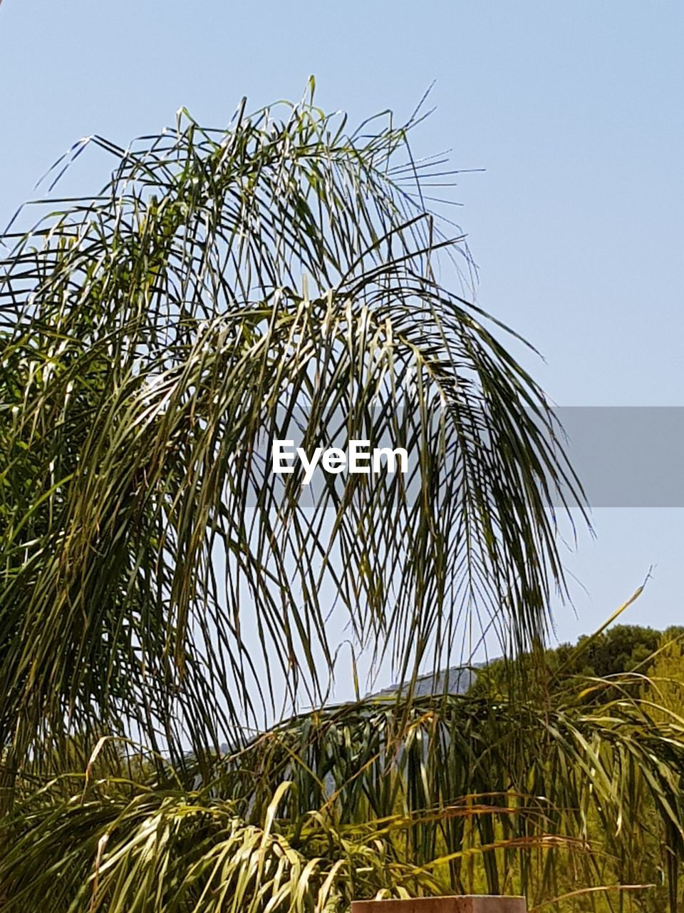 plant, growth, sky, green color, low angle view, nature, clear sky, tree, day, tropical climate, no people, palm tree, tranquility, beauty in nature, outdoors, grass, sunlight, agriculture, land, close-up, palm leaf, coconut palm tree
