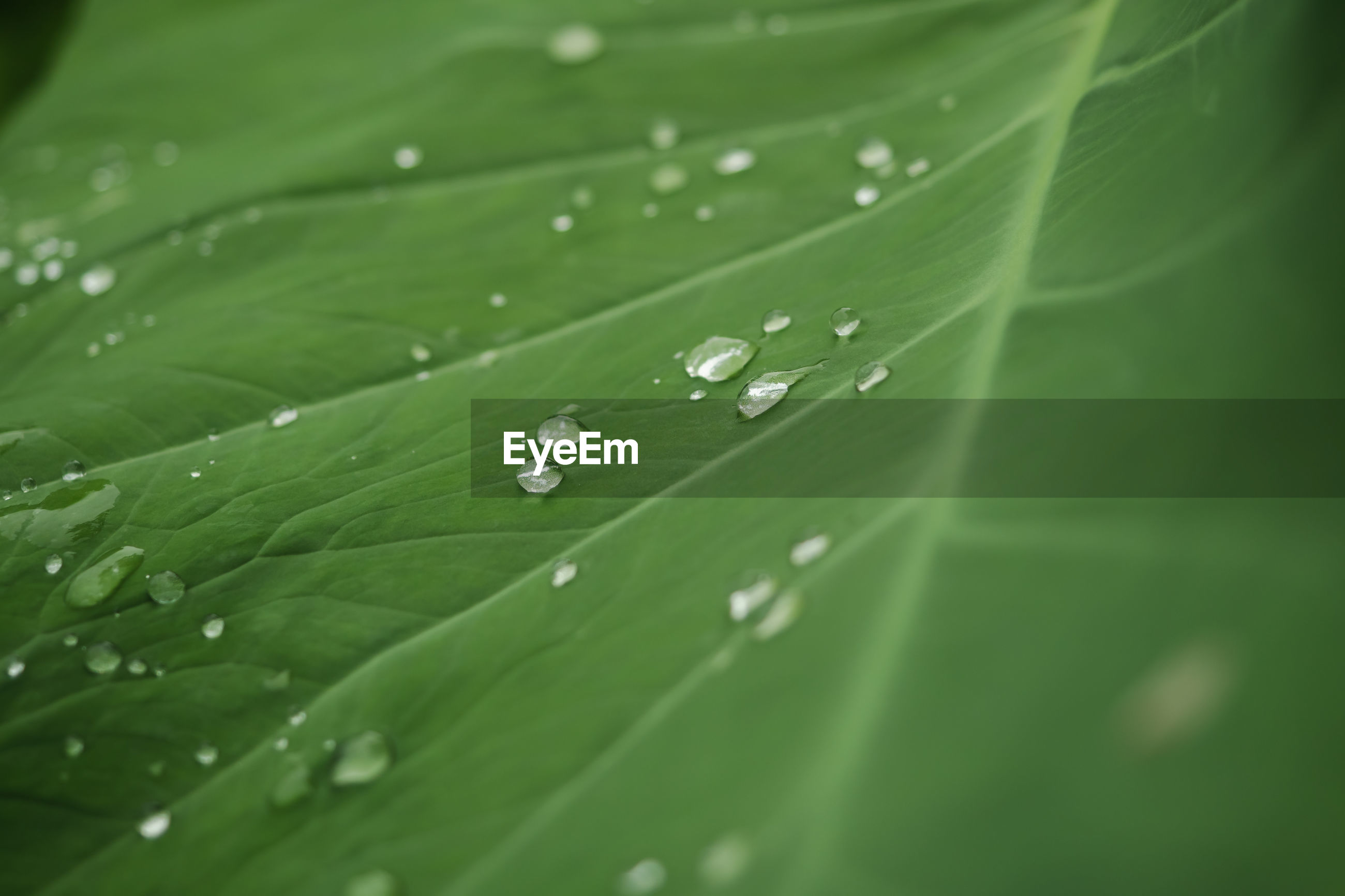 CLOSE-UP OF WATER DROPS ON LEAVES