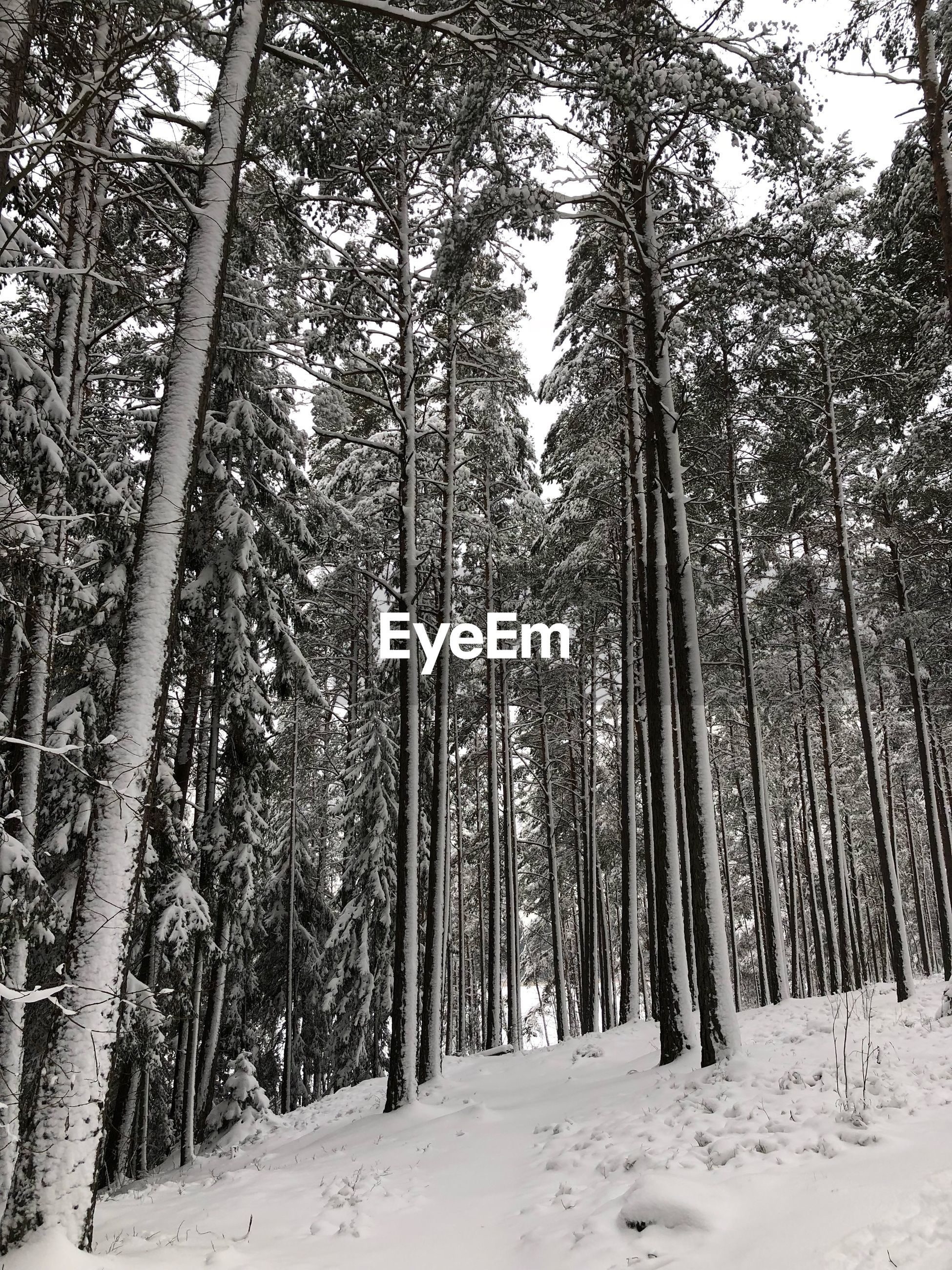 snow, winter, tree, cold temperature, nature, tranquil scene, tranquility, forest, beauty in nature, tree trunk, scenics, outdoors, no people, day, landscape, low angle view, growth, sky