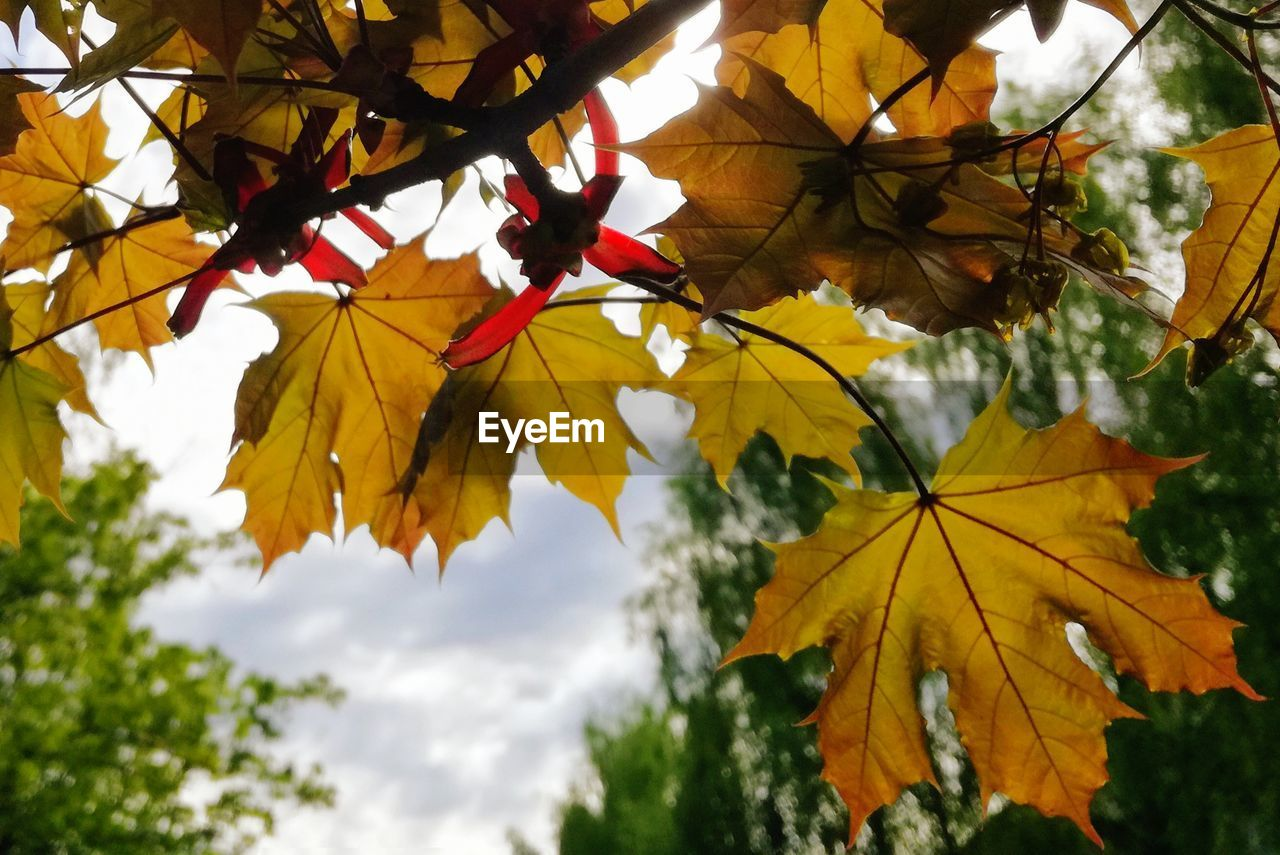 autumn, leaf, plant part, plant, beauty in nature, change, nature, maple leaf, growth, yellow, tree, no people, day, focus on foreground, close-up, outdoors, low angle view, leaves, branch, vulnerability, maple tree, flower head, natural condition