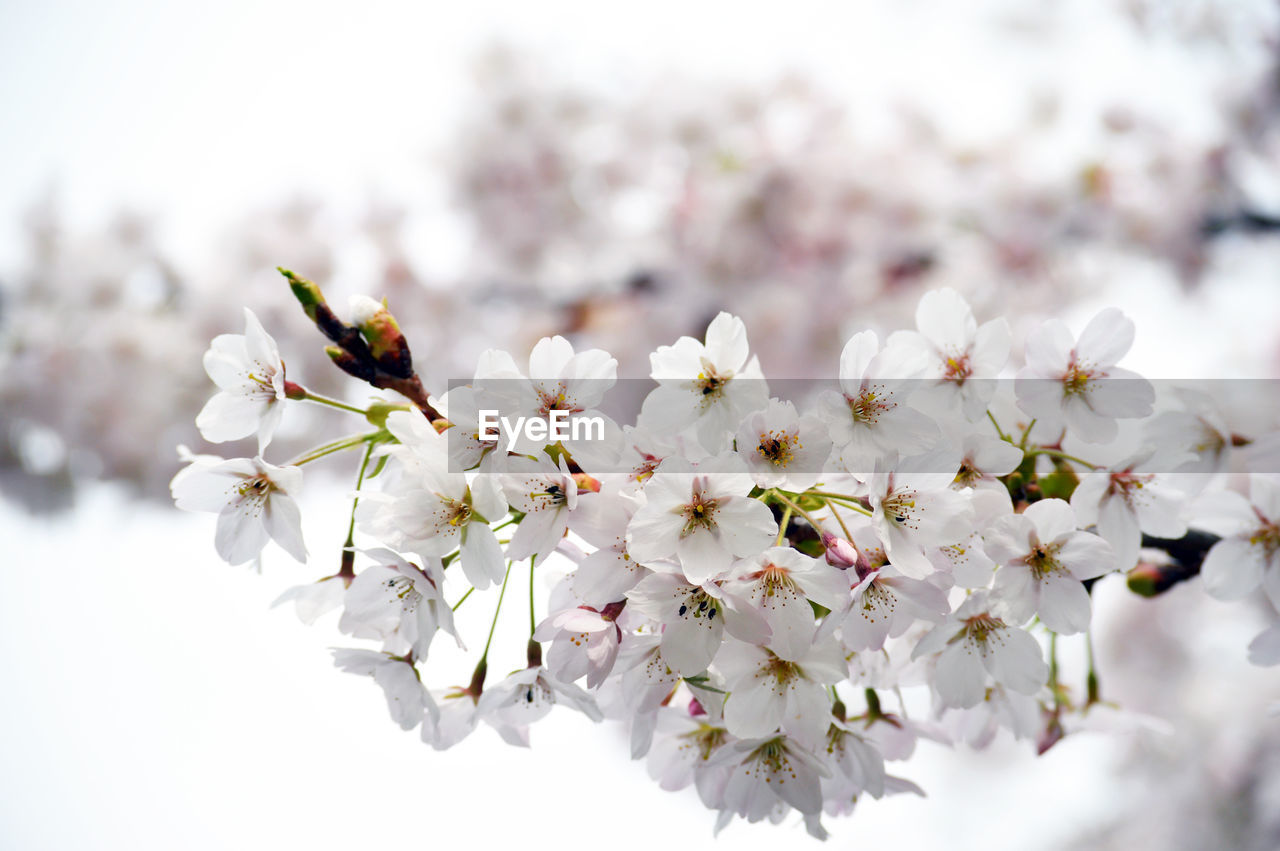 CLOSE-UP OF WHITE CHERRY BLOSSOMS AGAINST TREE