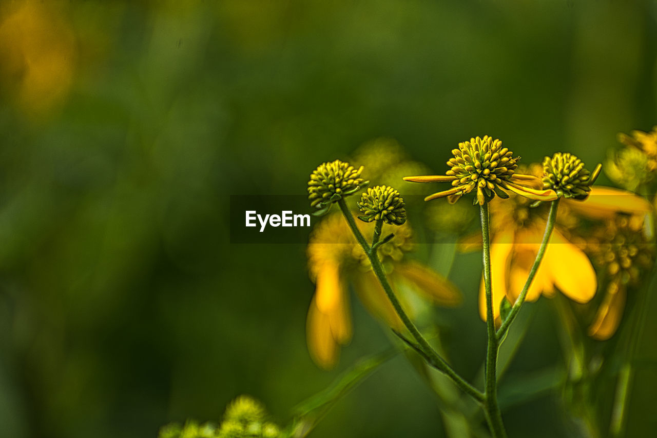 flower, flowering plant, fragility, plant, yellow, beauty in nature, vulnerability, growth, freshness, close-up, petal, flower head, selective focus, nature, inflorescence, green color, day, no people, field, outdoors