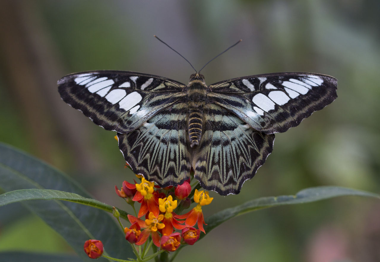 flower, butterfly - insect, fragility, animal themes, nature, animals in the wild, one animal, insect, beauty in nature, animal wing, freshness, animal wildlife, focus on foreground, outdoors, day, close-up, butterfly, plant, no people, petal, growth, spread wings, leaf, flower head, pollination, perching