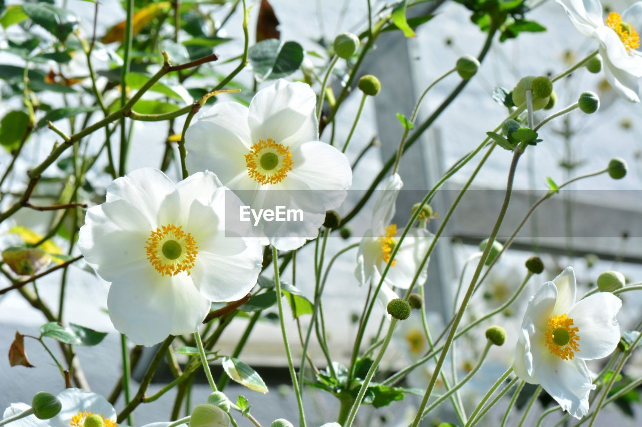 flowering plant, flower, fragility, vulnerability, plant, freshness, growth, beauty in nature, white color, petal, close-up, flower head, inflorescence, nature, no people, day, focus on foreground, pollen, springtime, selective focus, outdoors