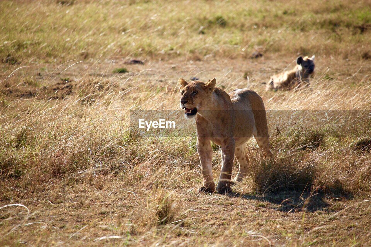 animal, animal themes, animal wildlife, mammal, animals in the wild, lion - feline, grass, feline, vertebrate, cat, one animal, land, field, nature, no people, day, safari, plant, landscape, lioness, undomesticated cat