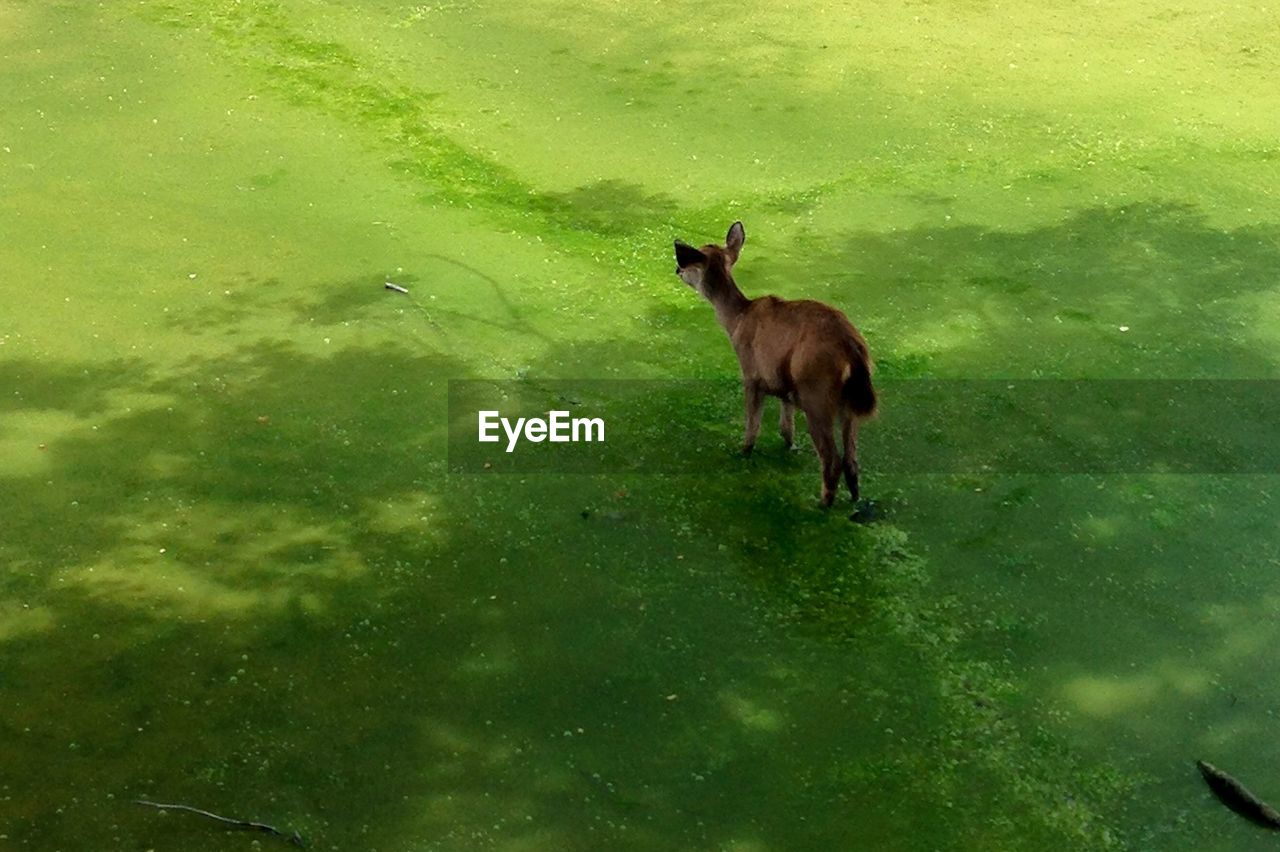 High angle view of deer standing on grassy field