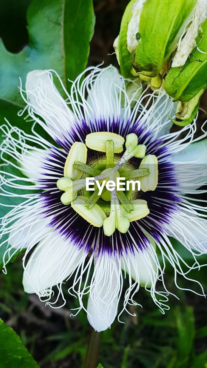 flower, flowering plant, vulnerability, flower head, plant, fragility, inflorescence, beauty in nature, freshness, petal, close-up, growth, purple, passion flower, pollen, nature, day, focus on foreground, no people, outdoors