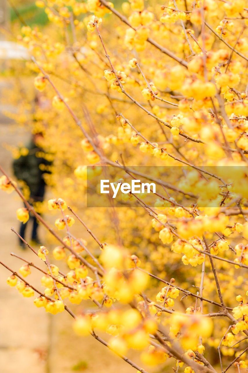 plant, yellow, growth, tree, beauty in nature, nature, flower, branch, day, flowering plant, no people, selective focus, fragility, close-up, freshness, vulnerability, outdoors, autumn, plant part, change, springtime, natural condition
