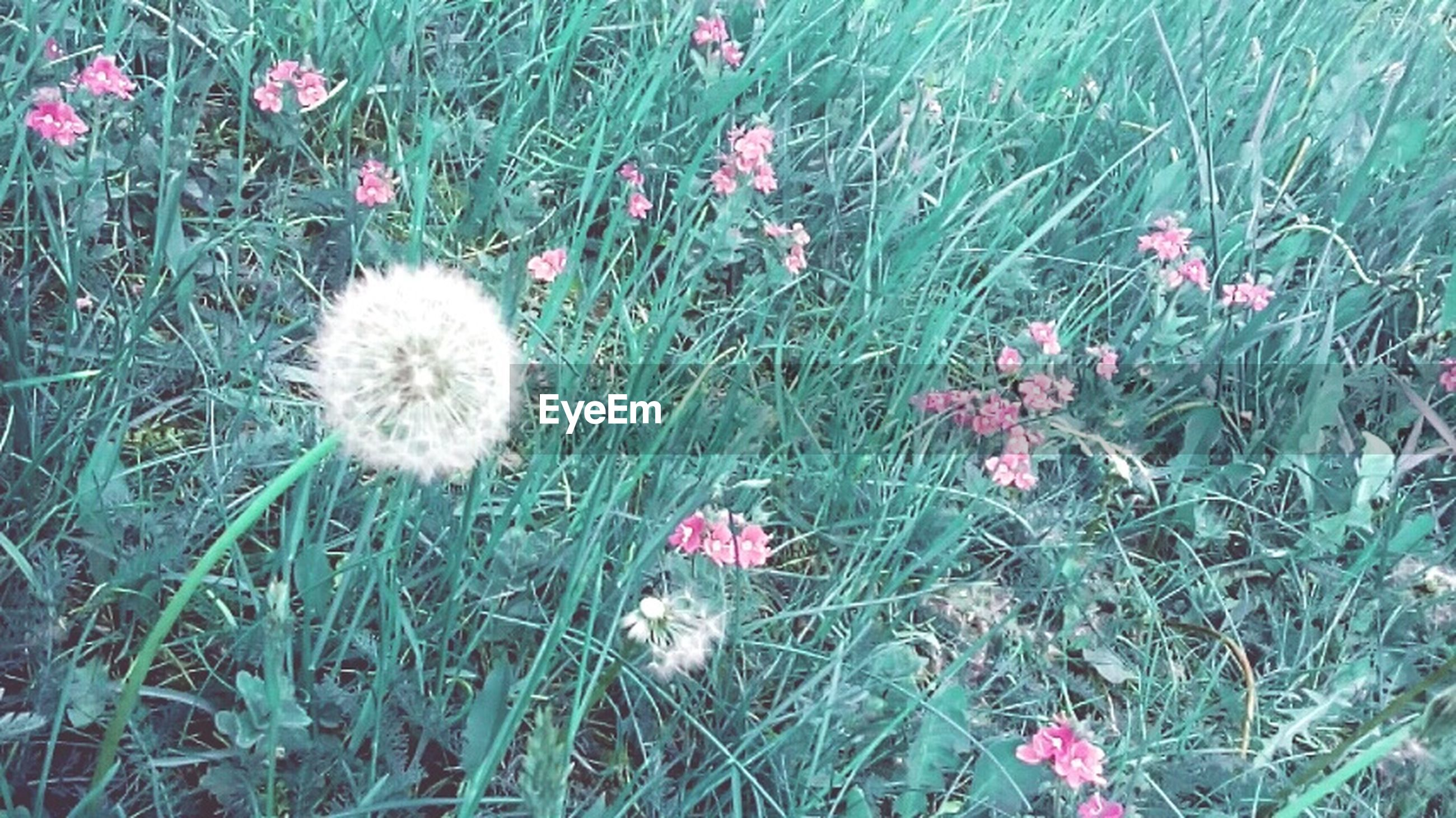 flower, growth, freshness, fragility, field, grass, beauty in nature, plant, nature, flower head, blooming, high angle view, petal, wildflower, uncultivated, green color, in bloom, day, no people, growing