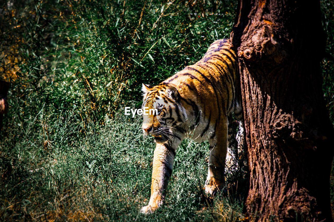 one animal, animal themes, animal, mammal, feline, cat, tree, animals in the wild, animal wildlife, plant, big cat, tiger, vertebrate, nature, carnivora, land, no people, tree trunk, trunk, outdoors, whisker, undomesticated cat