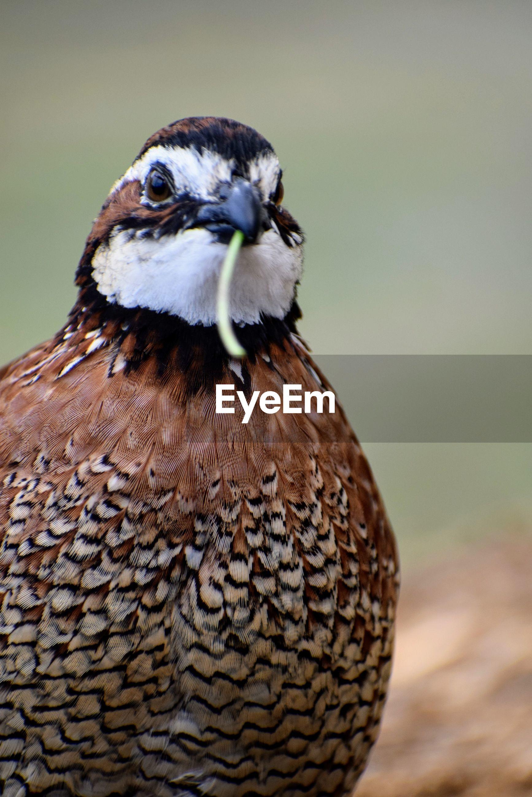 Close-up portrait of bobwhite quail