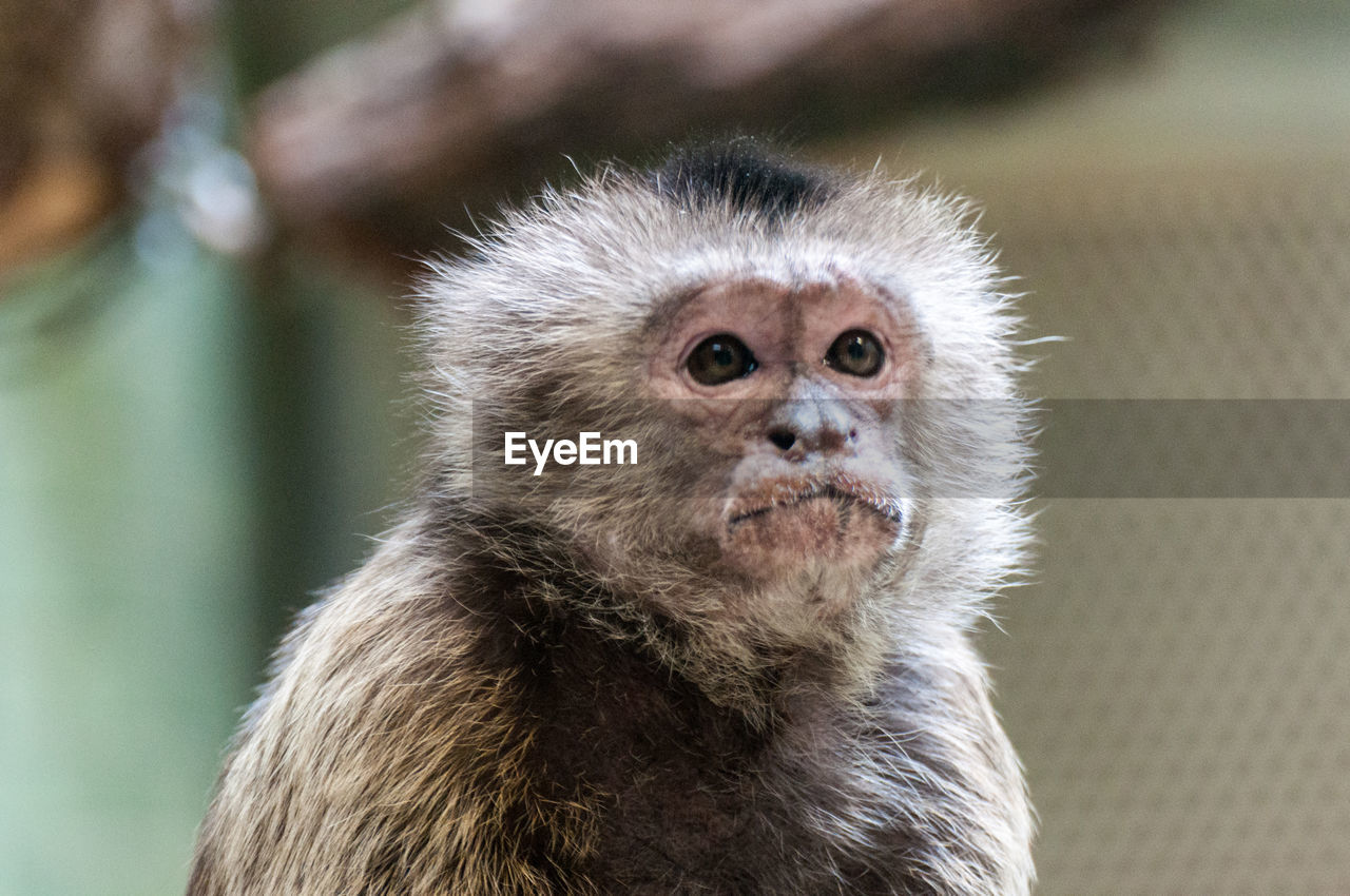 one animal, animal themes, animals in the wild, animal wildlife, close-up, monkey, mammal, focus on foreground, no people, day, looking at camera, portrait, nature, outdoors