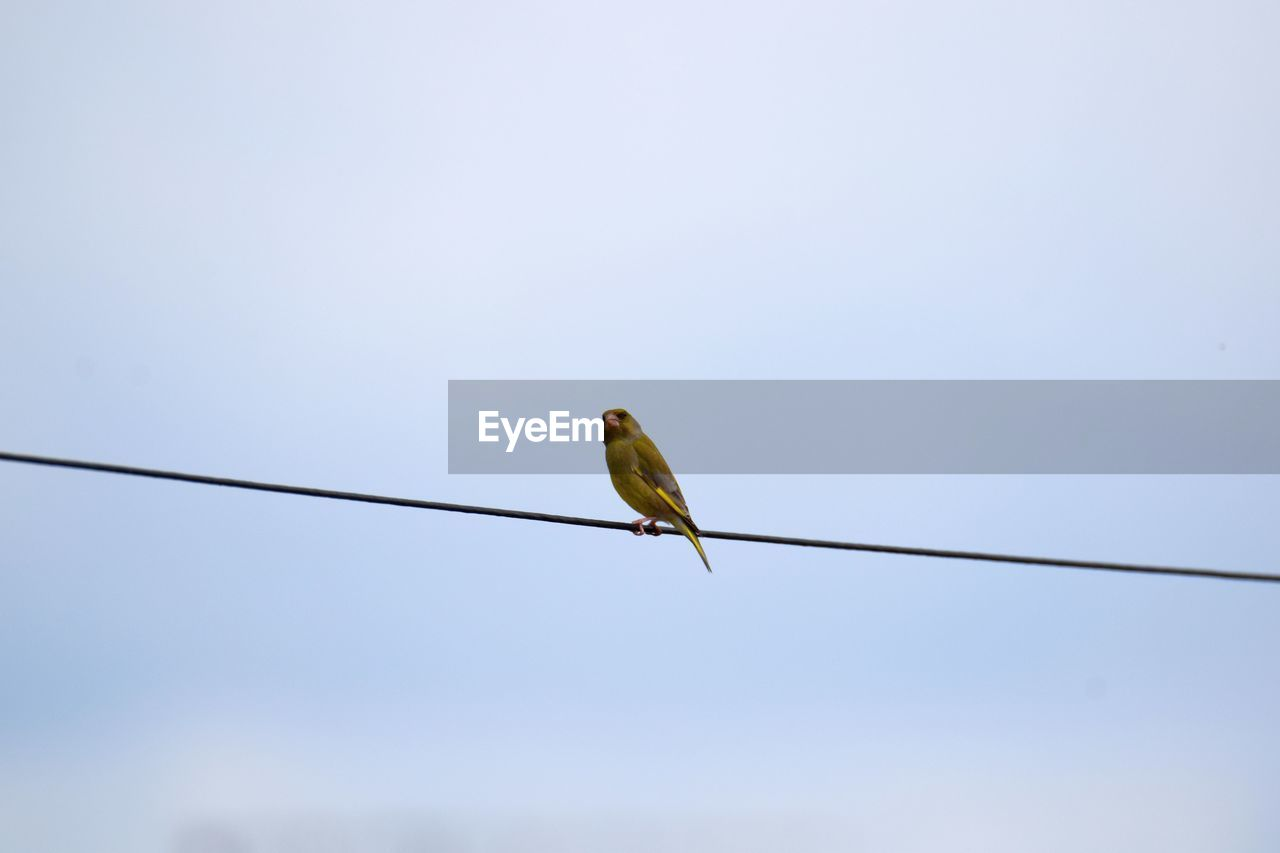 bird, vertebrate, animal themes, cable, animals in the wild, sky, animal wildlife, animal, one animal, perching, low angle view, clear sky, no people, copy space, power line, day, electricity, nature, outdoors, blue, power supply, telephone line