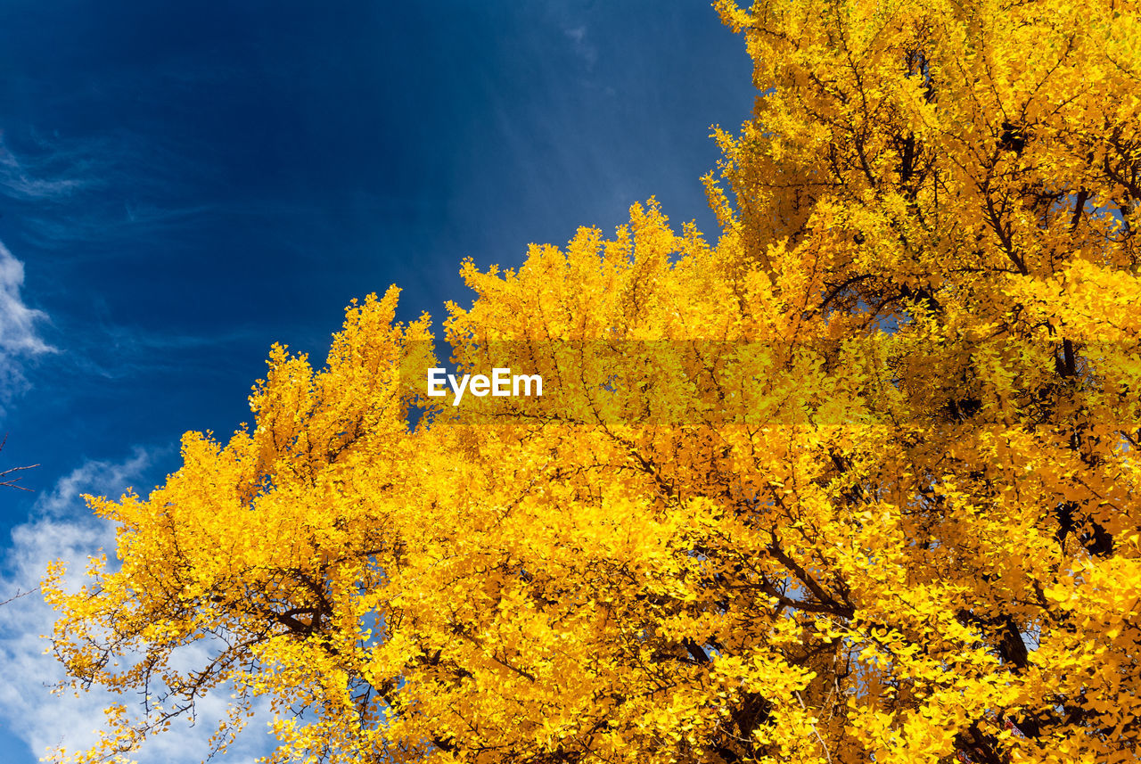 plant, yellow, tree, autumn, change, beauty in nature, growth, nature, no people, sky, tranquility, day, outdoors, low angle view, branch, orange color, tranquil scene, non-urban scene, sunlight, scenics - nature, fall, natural condition