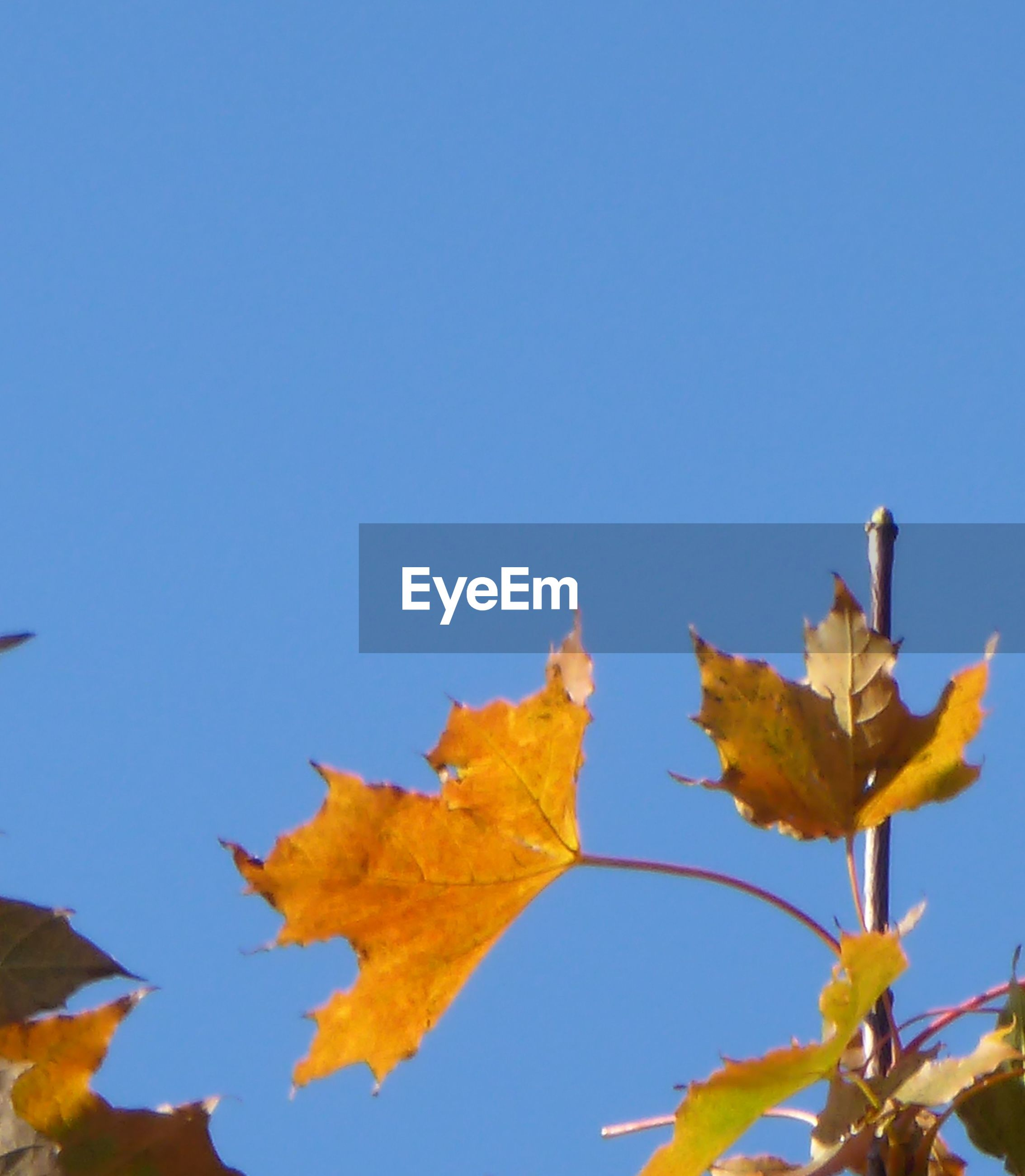 leaf, autumn, change, clear sky, nature, maple, blue, day, maple leaf, outdoors, low angle view, no people, beauty in nature, close-up, fragility, sky