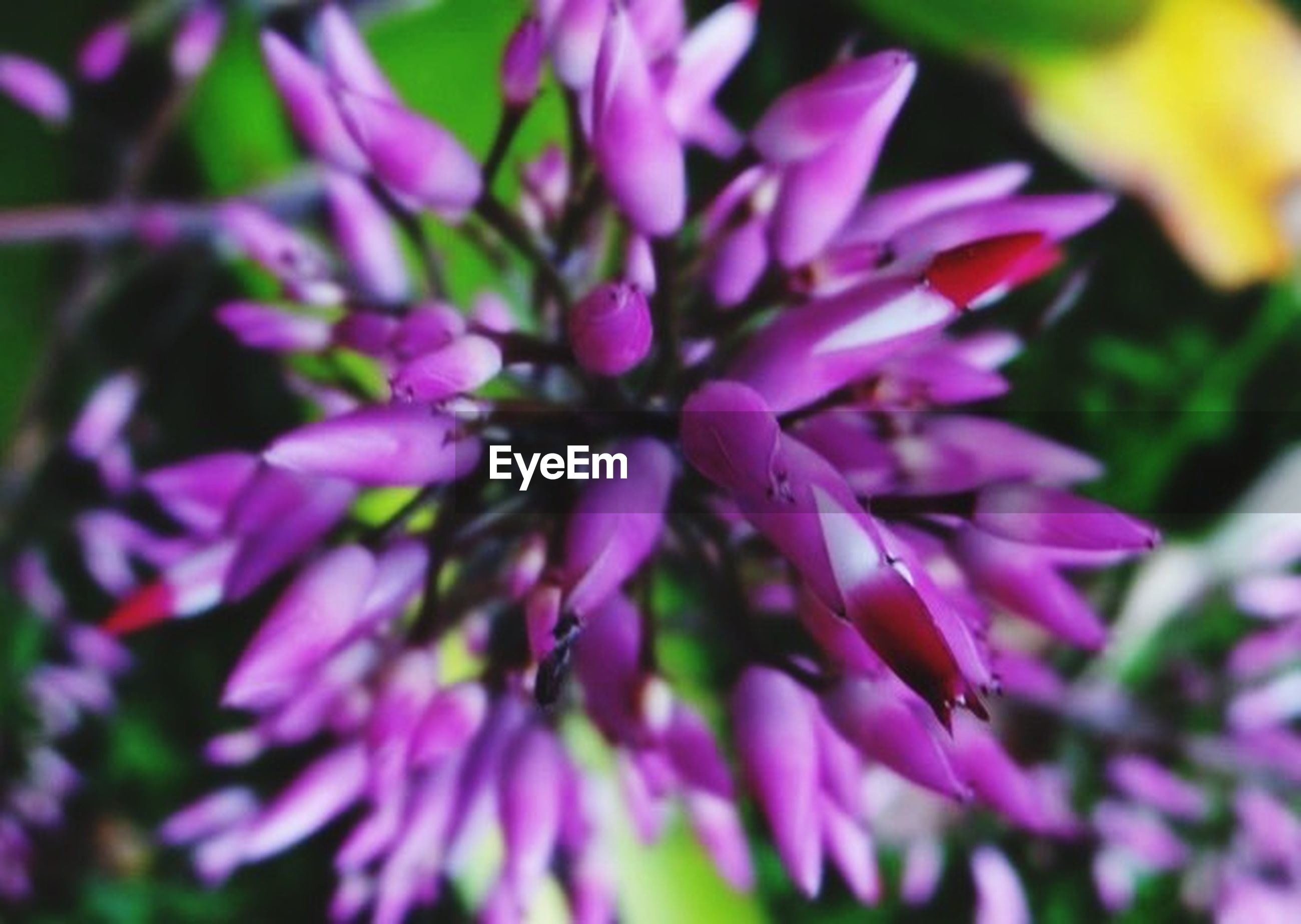 flower, freshness, petal, fragility, growth, close-up, beauty in nature, focus on foreground, flower head, purple, nature, selective focus, blooming, plant, pink color, in bloom, outdoors, day, park - man made space, no people