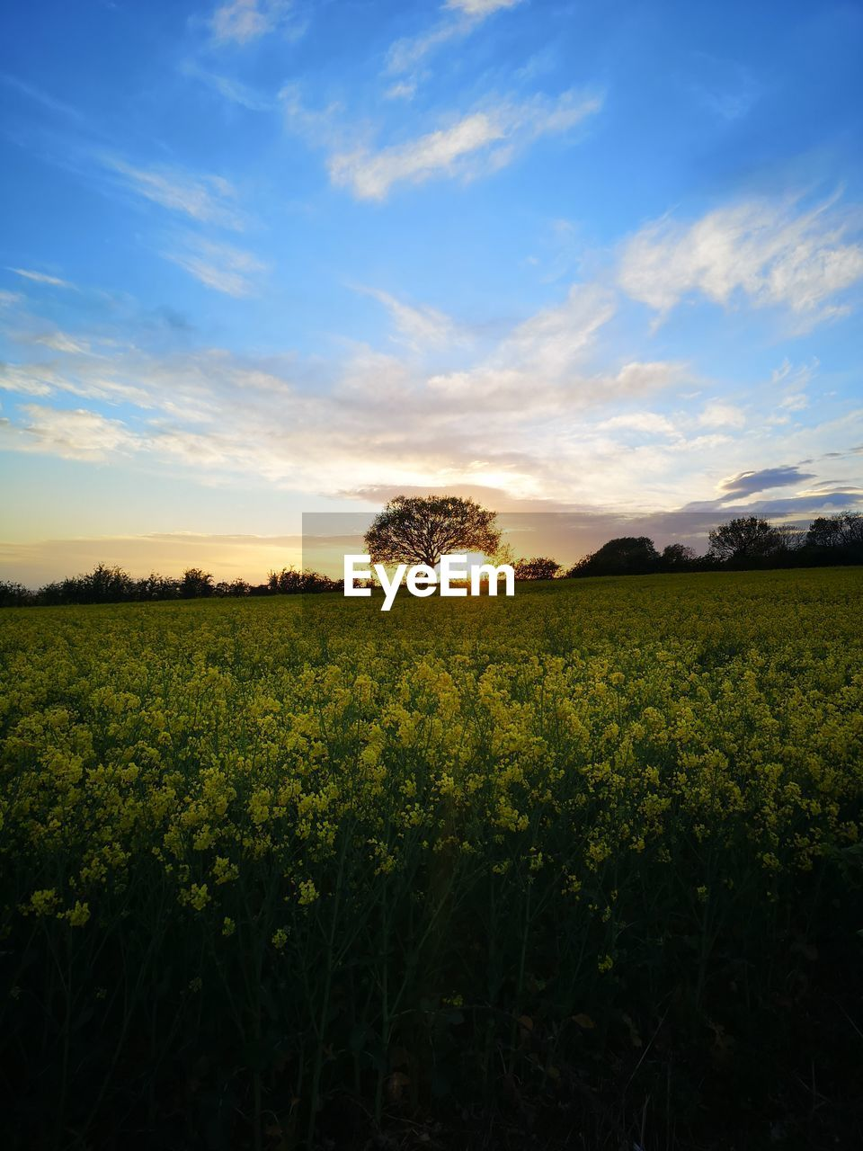 sky, field, beauty in nature, tranquil scene, tranquility, landscape, scenics - nature, plant, land, cloud - sky, growth, environment, sunset, rural scene, agriculture, nature, no people, yellow, crop, idyllic, outdoors