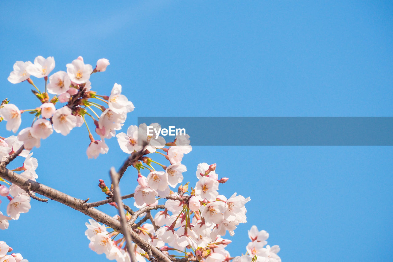 flower, flowering plant, plant, sky, freshness, fragility, tree, growth, vulnerability, beauty in nature, nature, blossom, low angle view, branch, springtime, copy space, day, blue, clear sky, cherry blossom, no people, outdoors, cherry tree, flower head