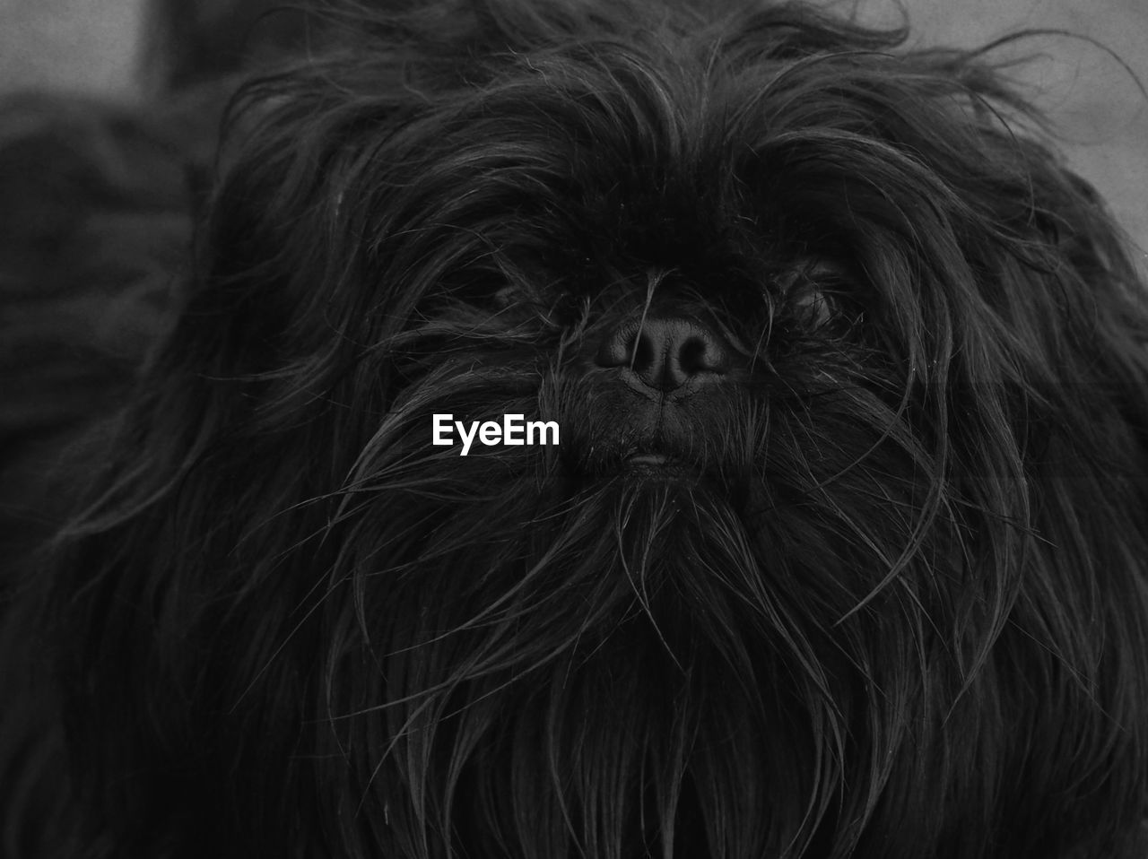 one animal, animal themes, animal, hair, dog, mammal, canine, domestic, animal hair, close-up, pets, vertebrate, domestic animals, portrait, no people, lap dog, looking at camera, animal body part, indoors, focus on foreground, animal head, small, hairstyle, shih tzu