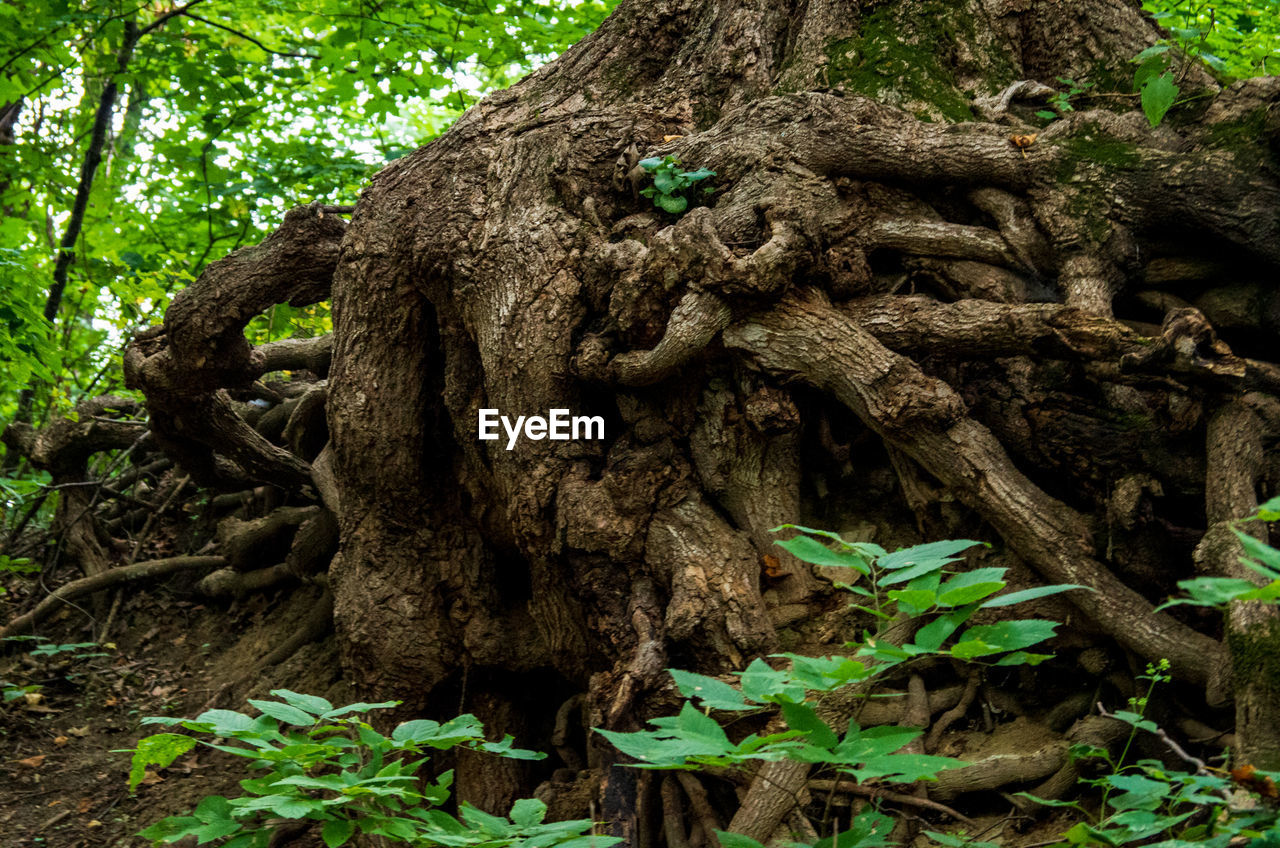 tree, plant, forest, tree trunk, trunk, land, plant part, nature, growth, root, day, no people, green color, wood - material, leaf, tranquility, outdoors, woodland, branch, beauty in nature, wood, bark, rainforest