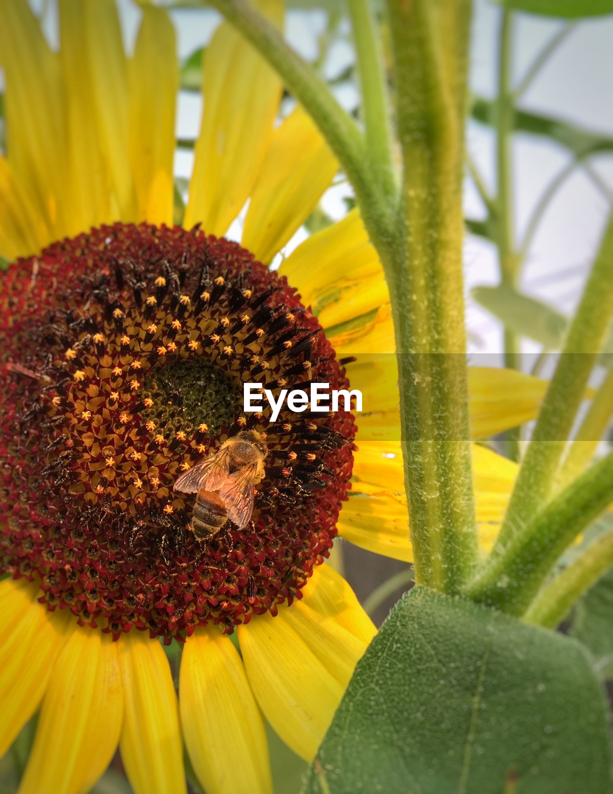 Close-up of insect on sunflower blooming outdoors