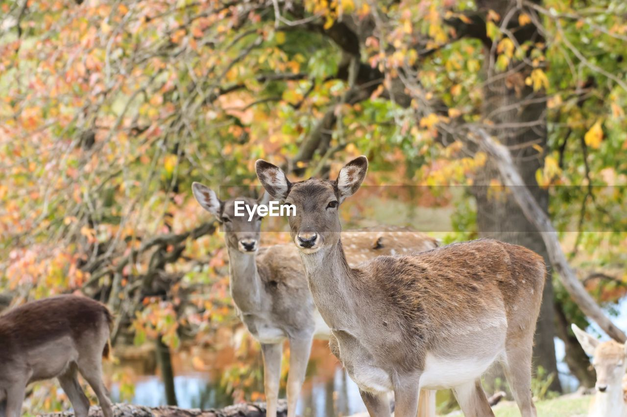 animal, animal themes, animal wildlife, animals in the wild, group of animals, mammal, vertebrate, focus on foreground, day, no people, nature, deer, land, young animal, looking at camera, tree, standing, plant, portrait, herbivorous, outdoors, animal family, herd, fawn