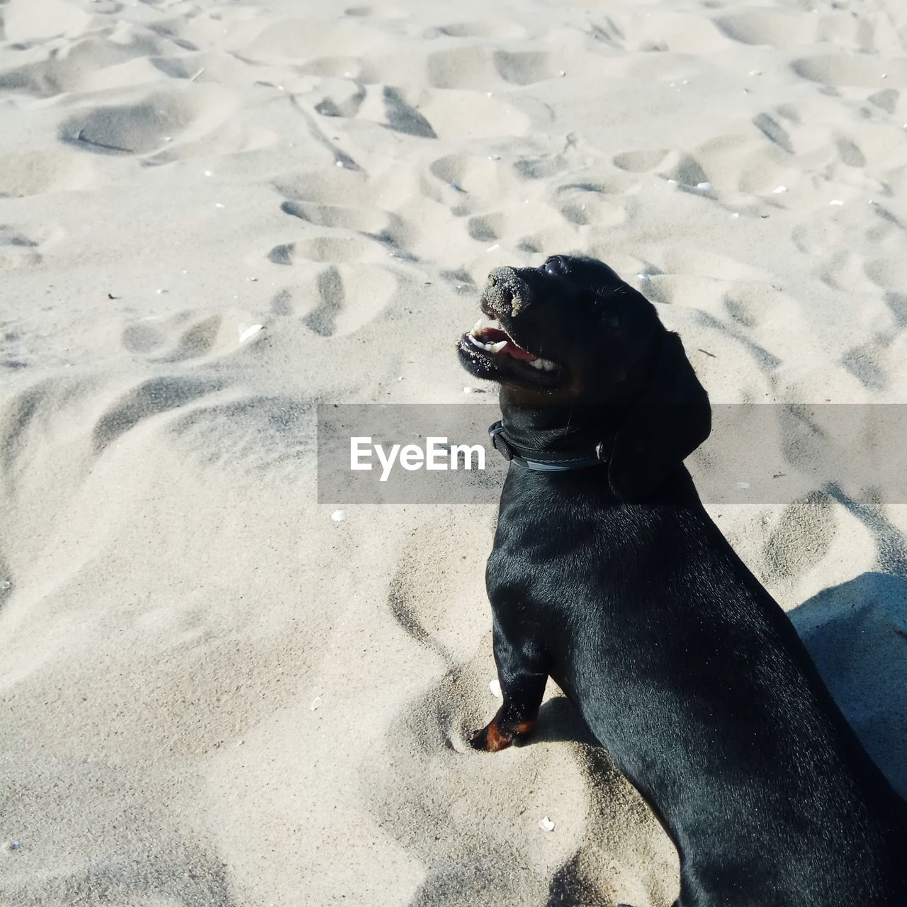 canine, dog, one animal, pets, animal themes, domestic, domestic animals, mammal, animal, vertebrate, land, sand, beach, black color, day, high angle view, nature, no people, looking, relaxation, mouth open