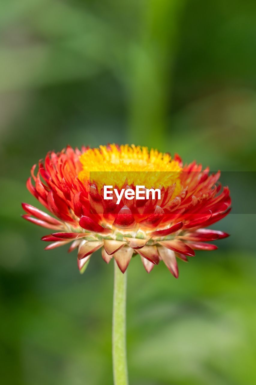 flowering plant, flower, beauty in nature, fragility, petal, vulnerability, flower head, inflorescence, plant, freshness, growth, close-up, focus on foreground, red, nature, day, no people, outdoors, plant stem, pollen, sepal