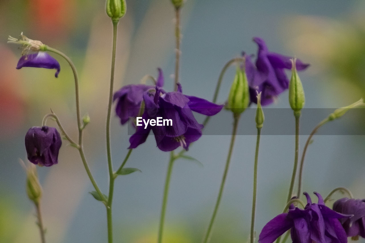 flower, purple, petal, growth, fragility, nature, beauty in nature, freshness, plant, blooming, flower head, close-up, focus on foreground, no people, outdoors, day, iris - plant, crocus