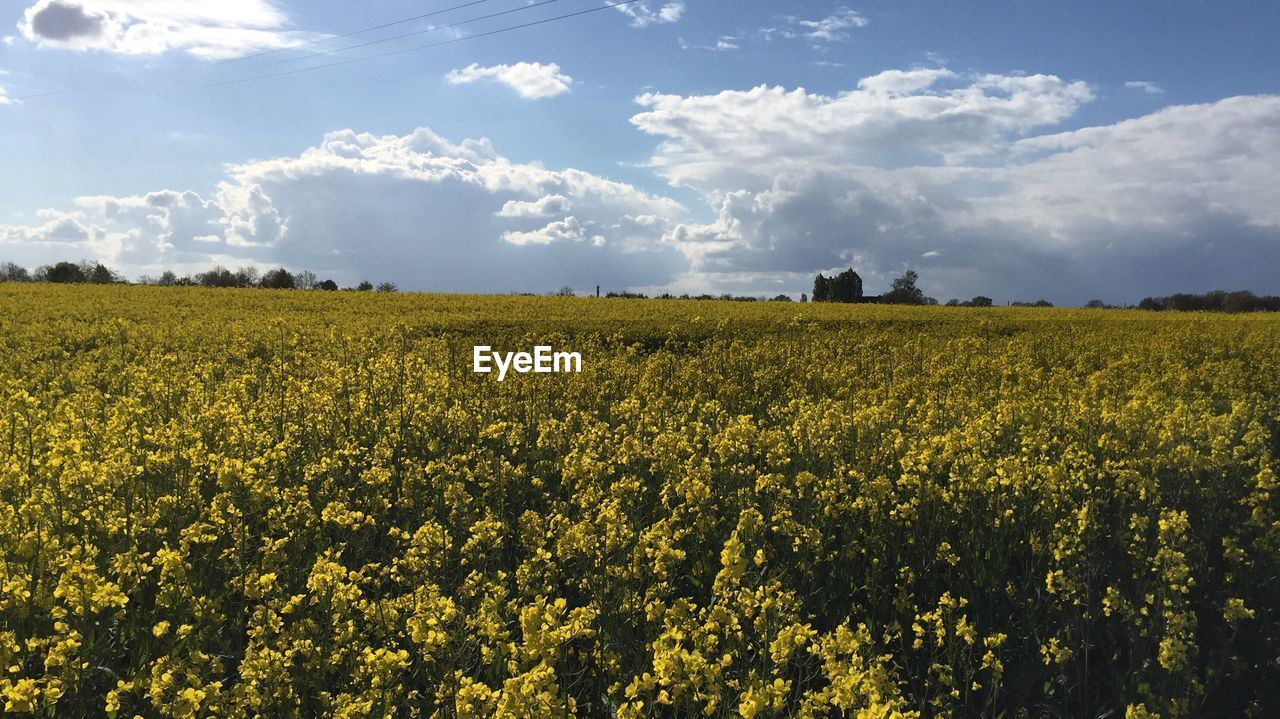 beauty in nature, landscape, land, flower, field, agriculture, yellow, plant, growth, rural scene, scenics - nature, cloud - sky, oilseed rape, flowering plant, tranquil scene, sky, tranquility, crop, nature, farm, no people, outdoors, springtime, flowerbed