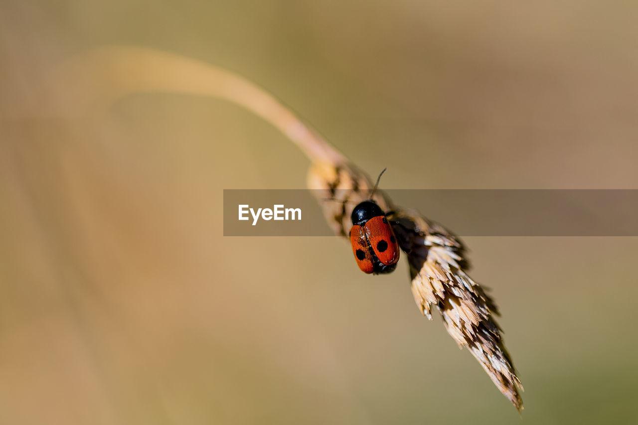 Ladybug Perching On Blade Of Wheat