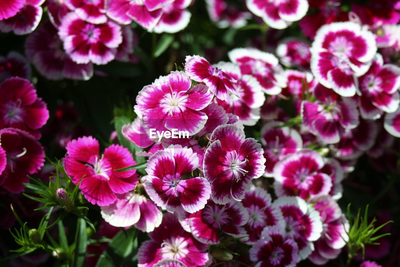 flower, flowering plant, fragility, vulnerability, growth, freshness, beauty in nature, petal, plant, flower head, pink color, inflorescence, close-up, nature, day, no people, outdoors, focus on foreground, selective focus, blossom, springtime, purple