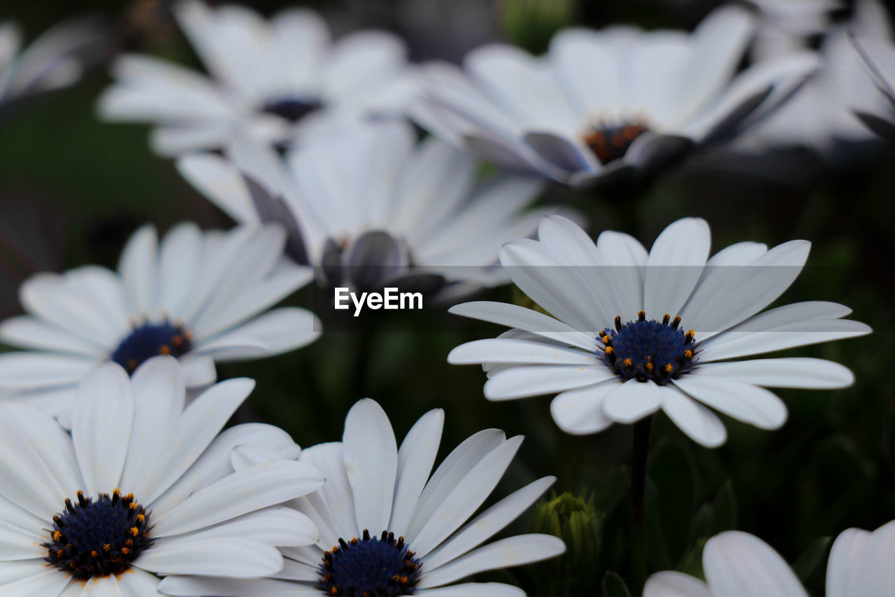 flowering plant, flower, fragility, vulnerability, petal, plant, freshness, beauty in nature, growth, flower head, osteospermum, white color, inflorescence, close-up, pollen, focus on foreground, no people, nature, day, daisy, purple, gazania