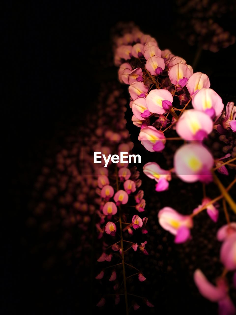 night, no people, flower, close-up, illuminated, outdoors, nature, beauty in nature, freshness