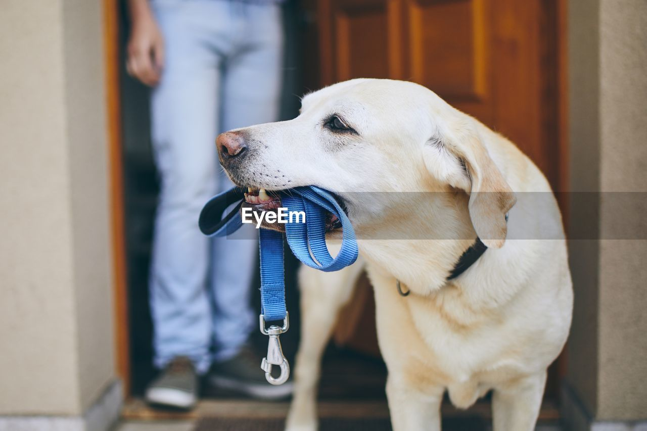 Close-up of dog carrying pet leash while person standing at doorway