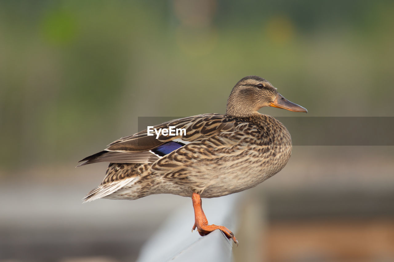 Close-up of a duck on a fence