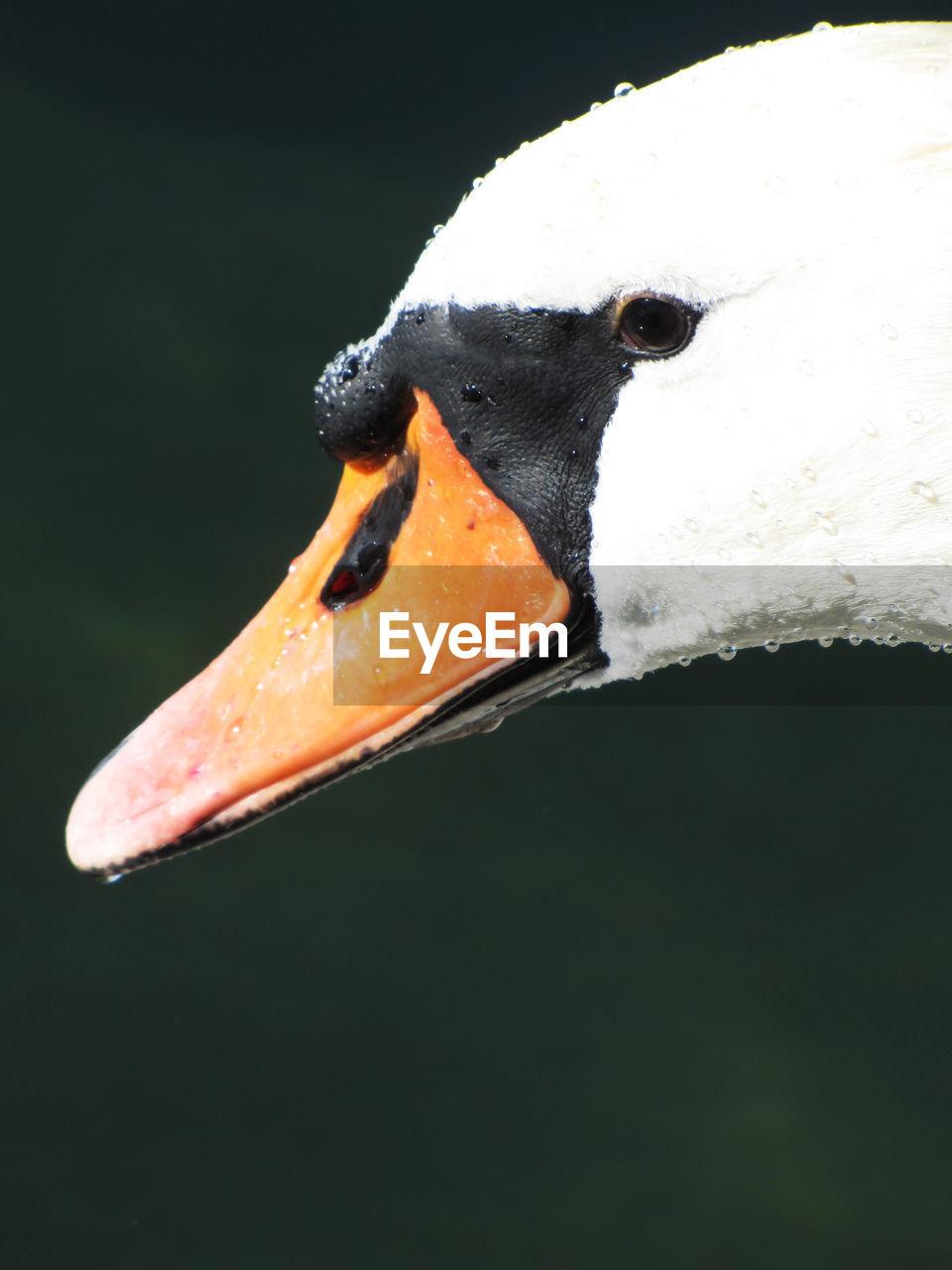 animals in the wild, one animal, bird, animal themes, beak, animal wildlife, swan, close-up, water bird, no people, outdoors, day, nature, swimming, black swan