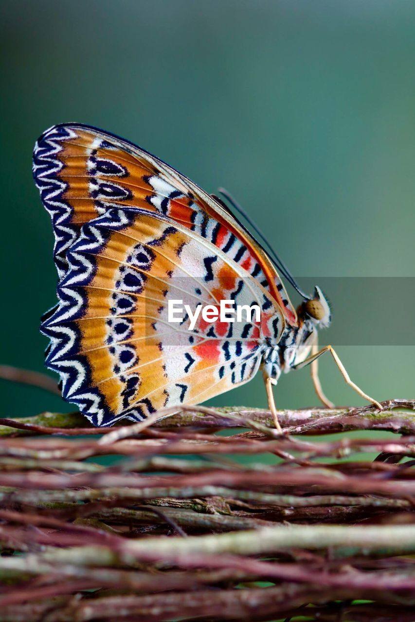 Close-Up Of Butterfly On Twigs
