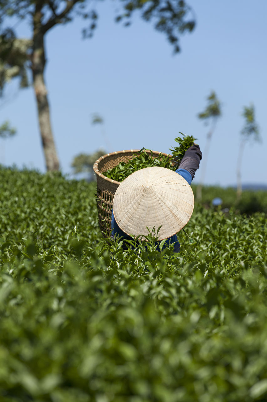 Rear view of person with basket on tea field