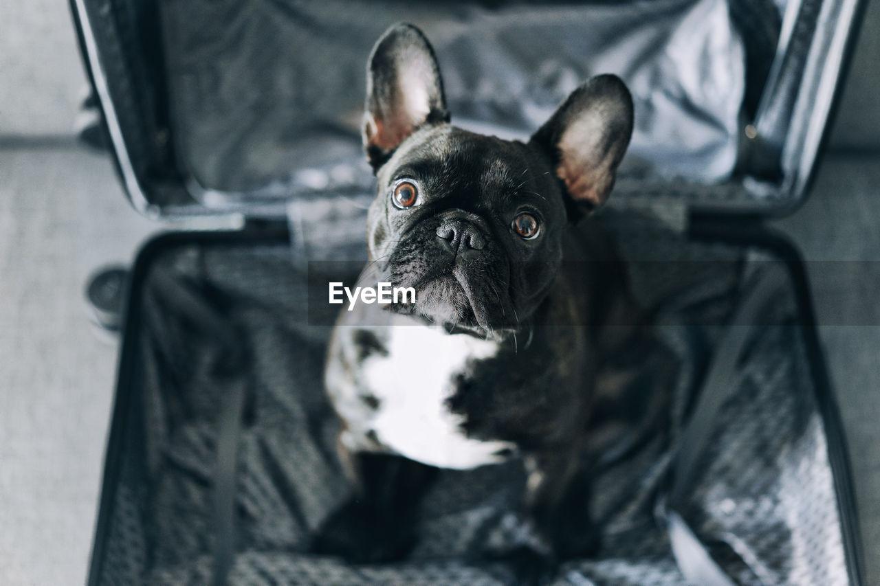 High angle view of french bulldog. dog at home