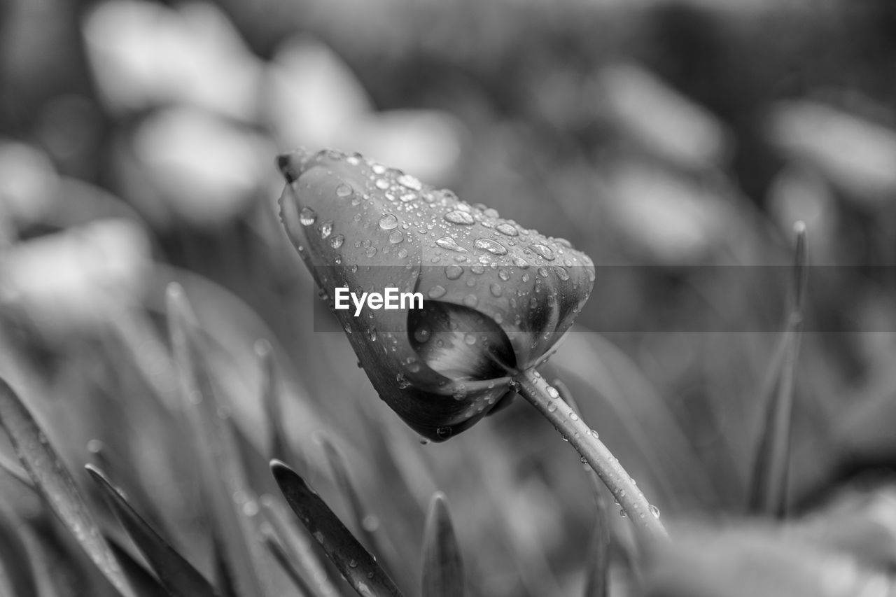 nature, drop, beauty in nature, water, fragility, growth, plant, wet, freshness, close-up, flower, outdoors, day, petal, no people, focus on foreground, purity, flower head, grass