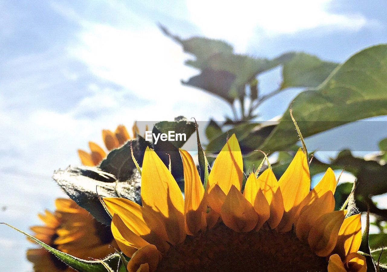Close-Up Of Sunflower Growing Against Sky