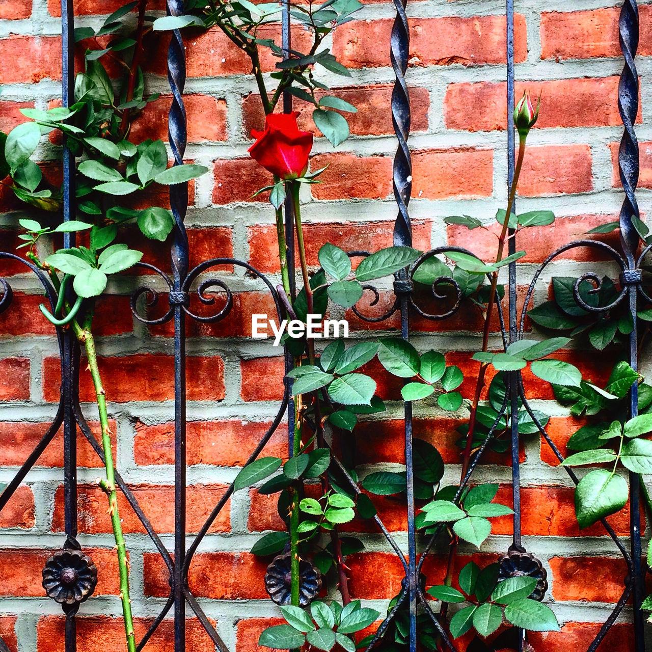 Rose blooming on metal grate against brick wall