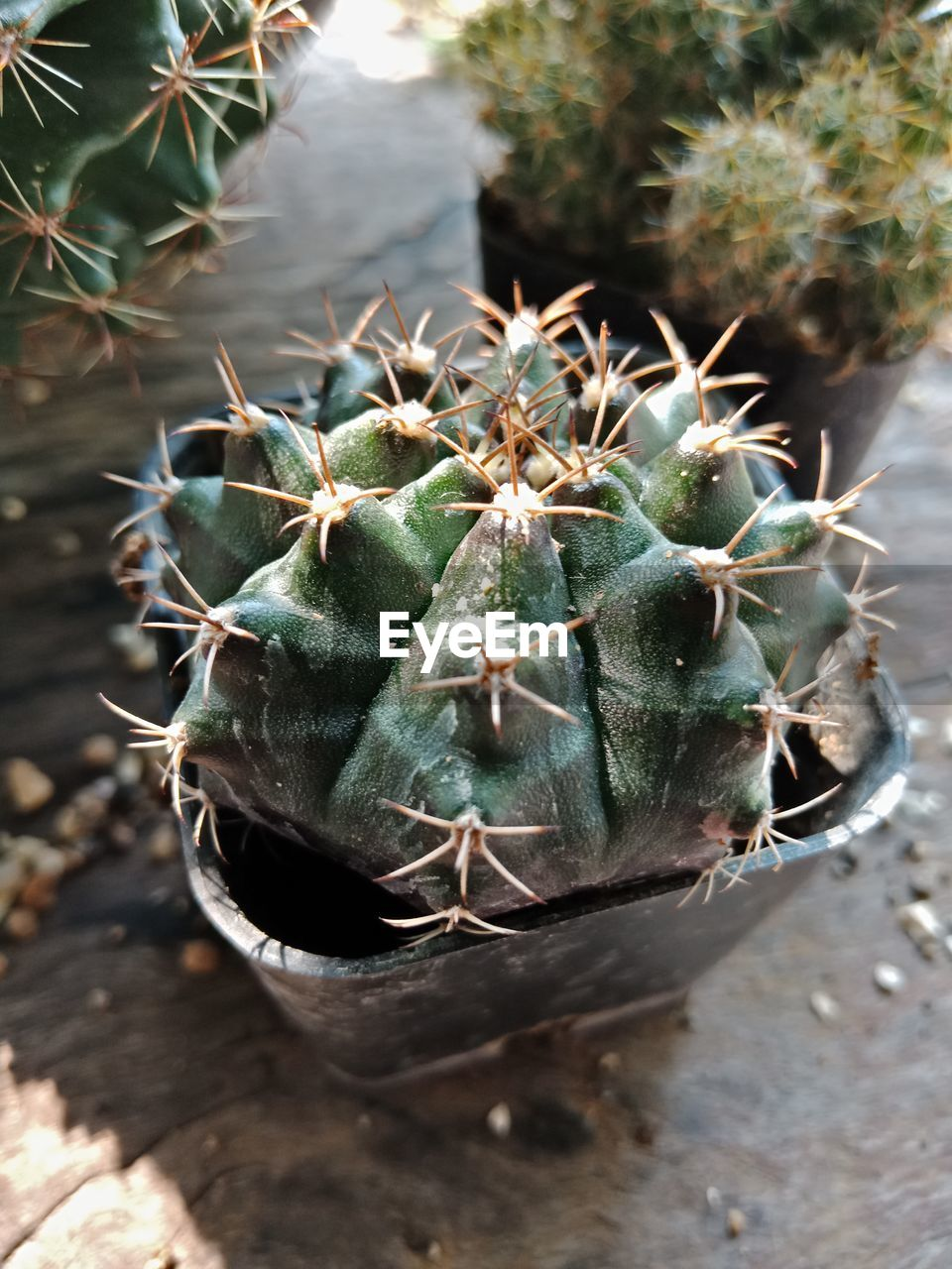 succulent plant, cactus, thorn, close-up, green color, plant, growth, day, potted plant, no people, nature, spiked, focus on foreground, beauty in nature, high angle view, outdoors, botany, sharp, freshness, sign, spiky