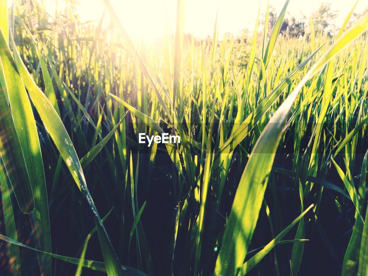 growth, plant, field, land, sunlight, nature, crop, landscape, agriculture, beauty in nature, green color, rural scene, grass, tranquility, cereal plant, no people, farm, day, close-up, sky, blade of grass, outdoors, lens flare, plantation